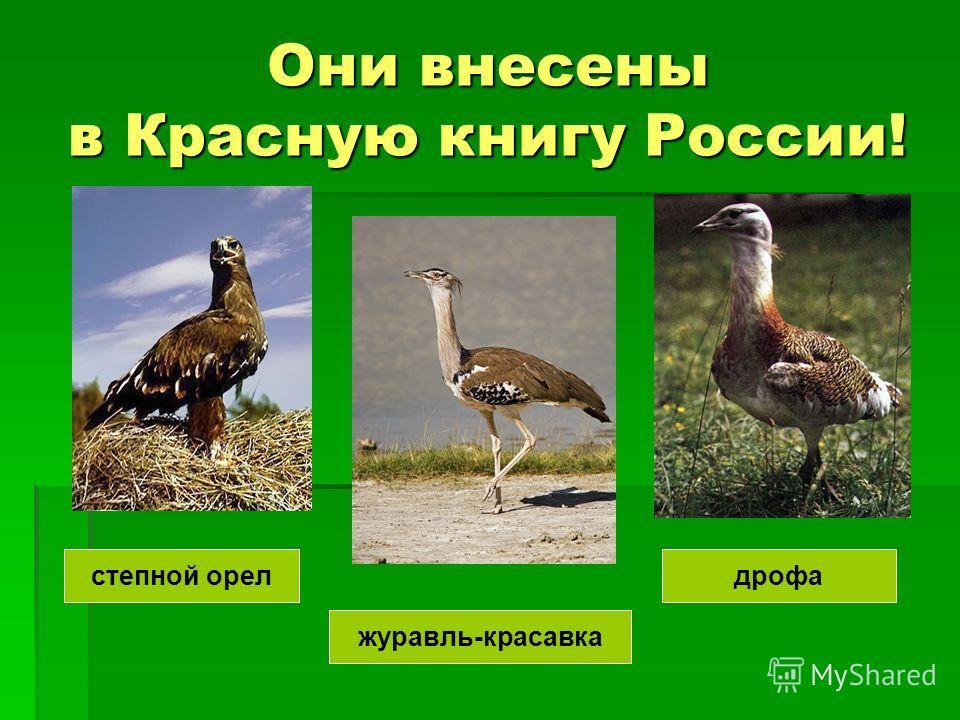 Они внесены в Красную книгу России! журавль-красавка дрофастепной орел