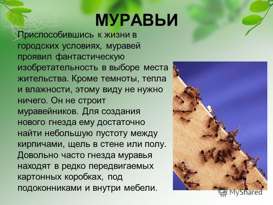 МУРАВЬИ Приспособившись к жизни в городских условиях, муравей проявил фантастическую изобретательность в выборе места жительства. Кроме темноты, тепла и влажности, этому виду не нужно ничего. Он не строит муравейников. Для создания нового гнезда ему
