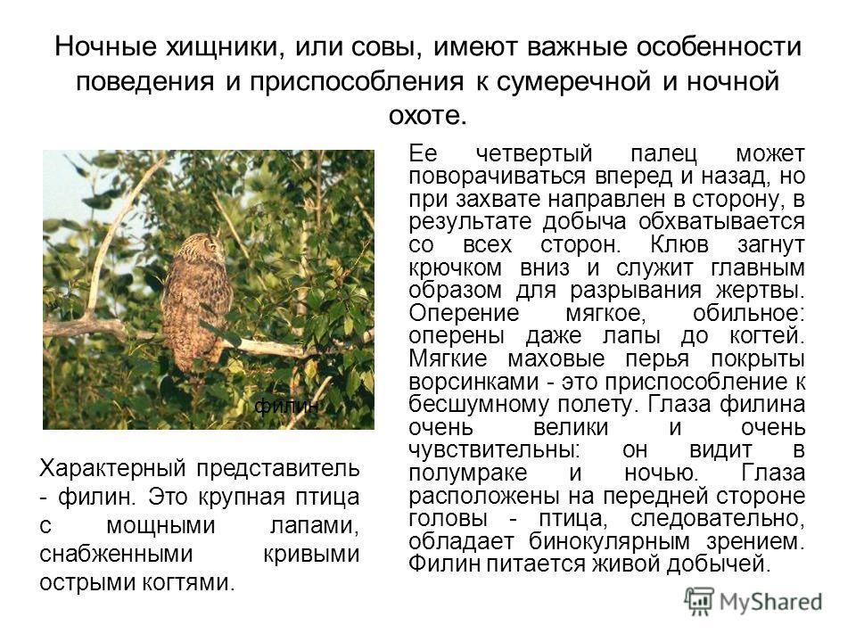 Ночные хищники, или совы, имеют важные особенности поведения и приспособления к сумеречной и ночной охоте. Ее четвертый палец может поворачиваться вперед и назад, но при захвате направлен в сторону, в результате добыча обхватывается со всех сторон. К