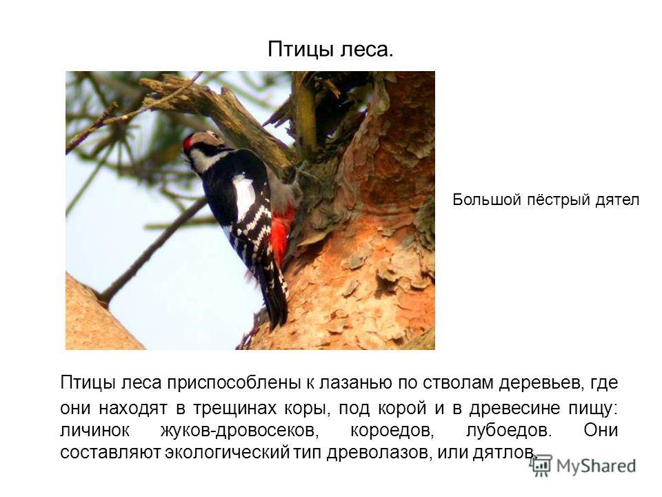 Птицы леса. Птицы леса приспособлены к лазанью по стволам деревьев, где они находят в трещинах коры, под корой и в древесине пищу: личинок жуков-дровосеков, короедов, лубоедов. Они составляют экологический тип древолазов, или дятлов. Большой пёстрый