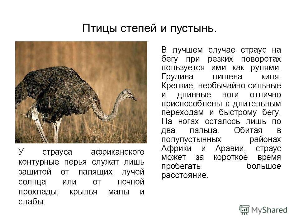Птицы степей и пустынь. В лучшем случае страус на бегу при резких поворотах пользуется ими как рулями. Грудина лишена киля. Крепкие, необычайно сильные и длинные ноги отлично приспособлены к длительным переходам и быстрому бегу. На ногах осталось лиш