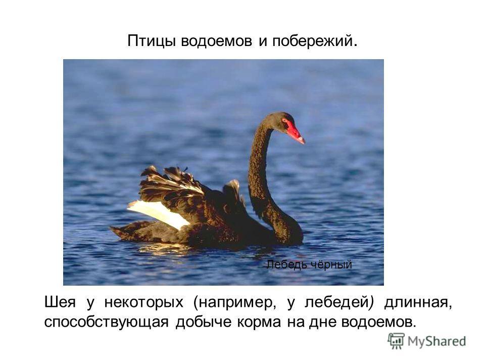 Птицы водоемов и побережий. Шея у некоторых (например, у лебедей) длинная, способствующая добыче корма на дне водоемов. Лебедь чёрный