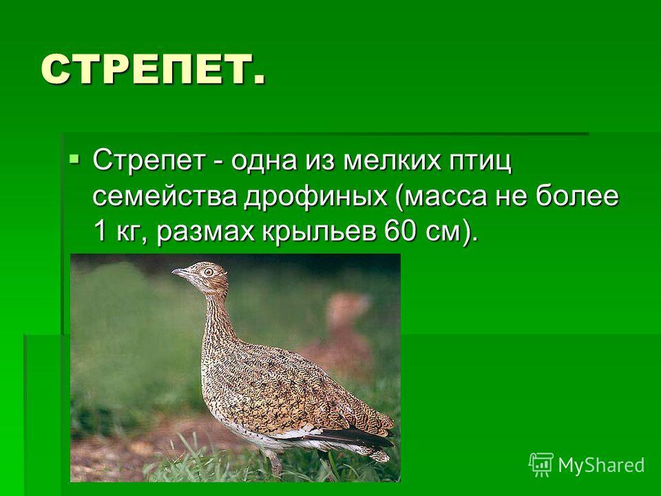 СТРЕПЕТ. Стрепет - одна из мелких птиц семейства дрофиных (масса не более 1 кг, размах крыльев 60 см). Стрепет - одна из мелких птиц семейства дрофиных (масса не более 1 кг, размах крыльев 60 см).