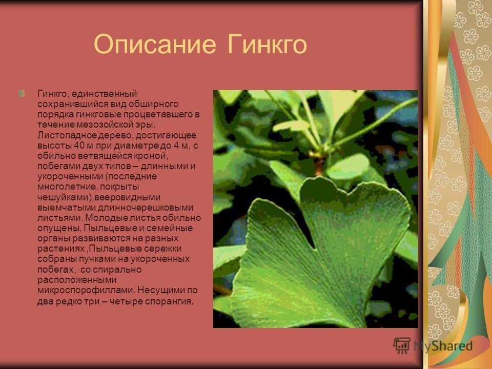 Описание Гинкго Гинкго, единственный сохранившийся вид обширного порядка гинкговые процветавшего в течение мезозойской эры. Листопадное дерево, достигающее высоты 40 м при диаметре до 4 м, с обильно ветвящейся кроной, побегами двух типов – длинными и