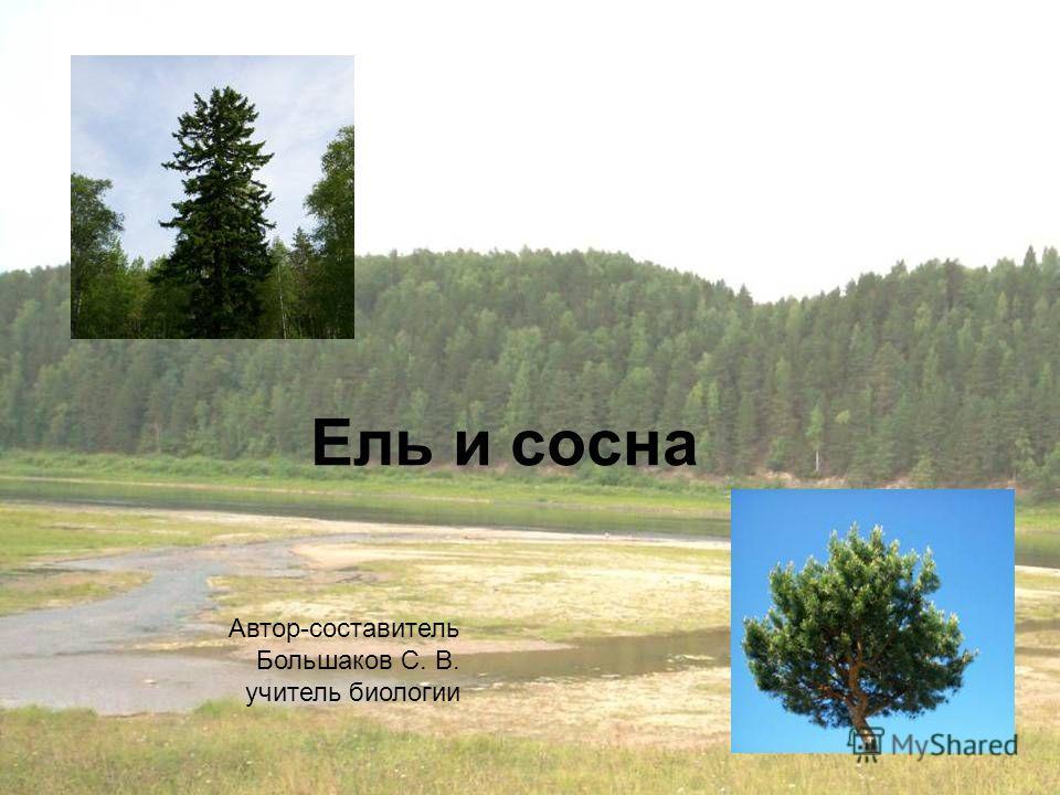 Ель и сосна Автор-составитель Большаков С. В. учитель биологии