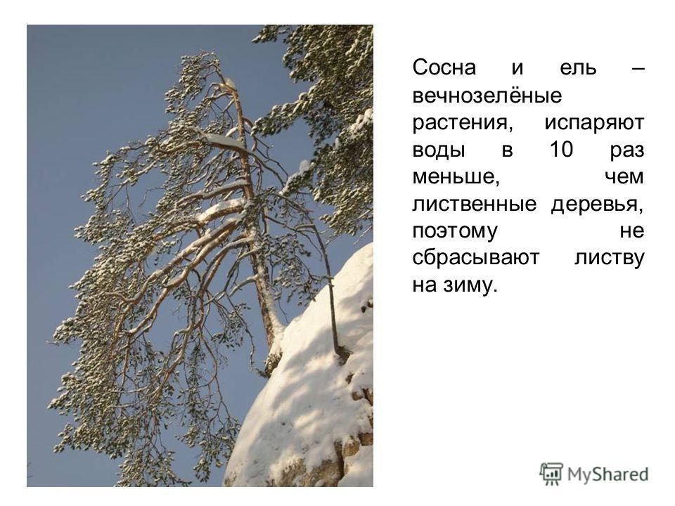 Сосна и ель – вечнозелёные растения, испаряют воды в 10 раз меньше, чем лиственные деревья, поэтому не сбрасывают листву на зиму.