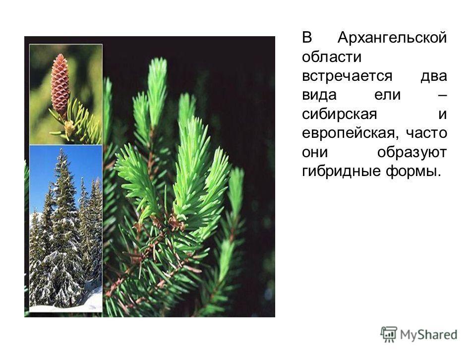 В Архангельской области встречается два вида ели – сибирская и европейская, часто они образуют гибридные формы.