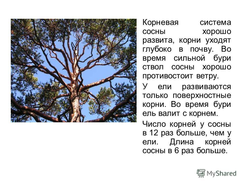 Корневая система сосны хорошо развита, корни уходят глубоко в почву. Во время сильной бури ствол сосны хорошо противостоит ветру. У ели развиваются только поверхностные корни. Во время бури ель валит с корнем. Число корней у сосны в 12 раз больше, че