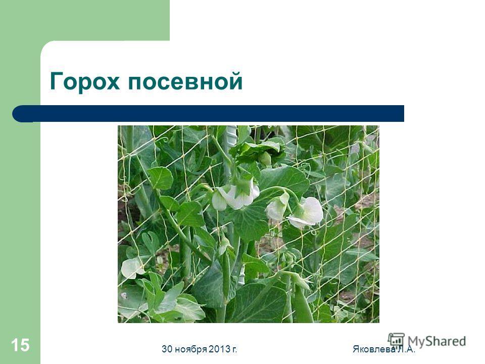 30 ноября 2013 г.Яковлева Л.А. 14 Бобы русские