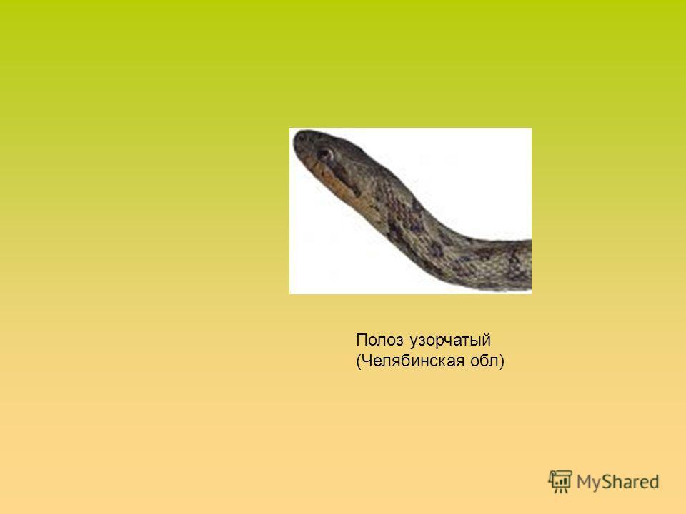 Полоз узорчатый (Челябинская обл)