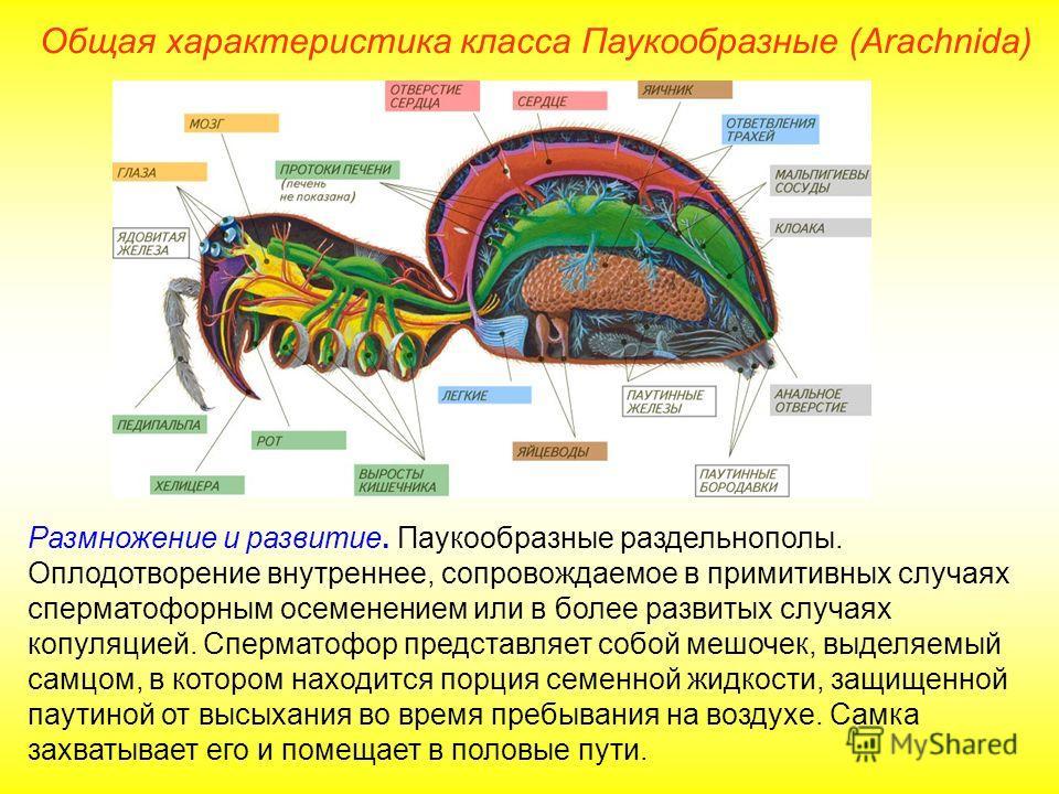 Общая характеристика класса Паукообразные (Arachnida) Размножение и развитие. Паукообразные раздельнополы. Оплодотворение внутреннее, сопровождаемое в примитивных случаях сперматофорным осеменением или в более развитых случаях копуляцией. Сперматофор