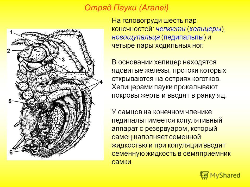 Отряд Пауки (Aranei) На головогруди шесть пар конечностей: челюсти (хелицеры), ногощупальца (педипальпы) и четыре пары ходильных ног. В основании хелицер находятся ядовитые железы, протоки которых открываются на остриях коготков. Хелицерами пауки про