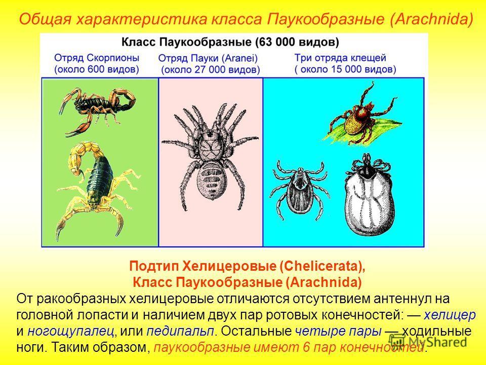 Общая характеристика класса Паукообразные (Arachnida) Подтип Хелицеровые (Chelicerata), Класс Паукообразные (Arachnida) От ракообразных хелицеровые отличаются отсутствием антеннул на головной лопасти и наличием двух пар ротовых конечностей: хелицер и