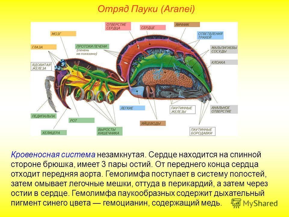 Отряд Пауки (Aranei) Кровеносная система незамкнутая. Сердце находится на спинной стороне брюшка, имеет 3 пары остий. От переднего конца сердца отходит передняя аорта. Гемолимфа поступает в систему полостей, затем омывает легочные мешки, оттуда в пер