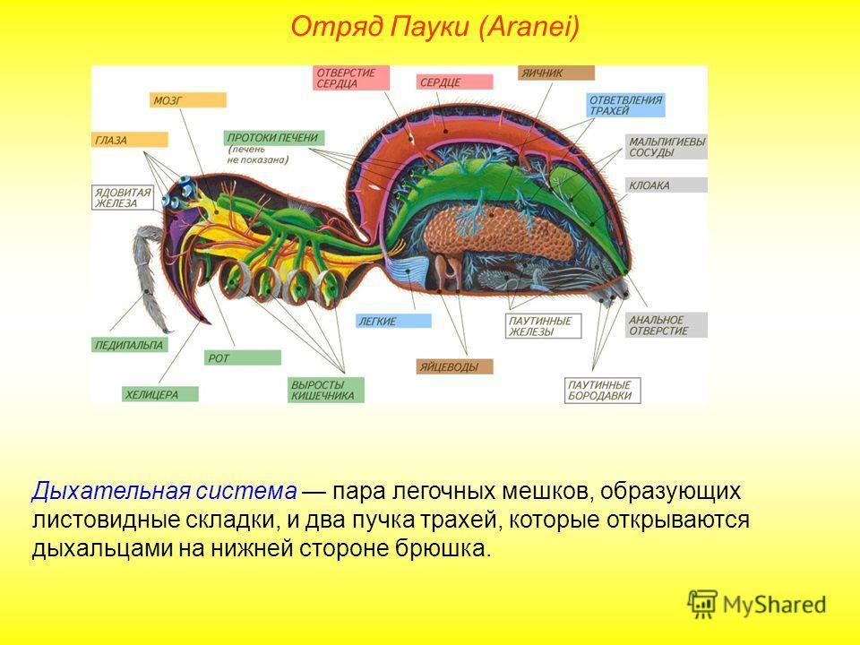 Отряд Пауки (Aranei) Дыхательная система пара легочных мешков, образующих листовидные складки, и два пучка трахей, которые открываются дыхальцами на нижней стороне брюшка.