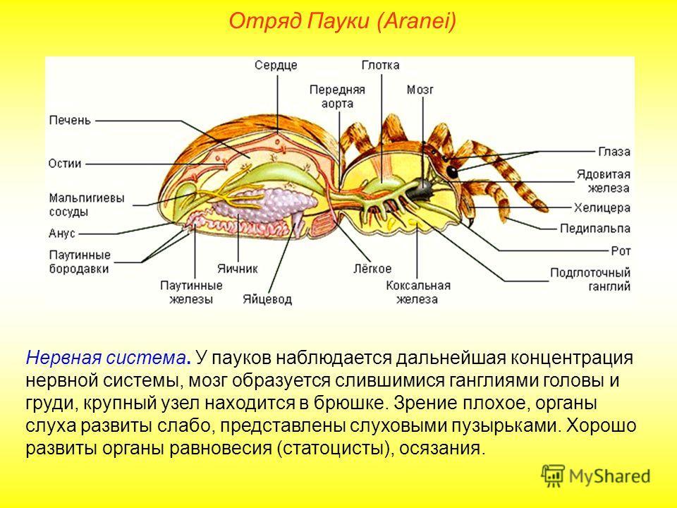 Отряд Пауки (Aranei) Нервная система. У пауков наблюдается дальнейшая концентрация нервной системы, мозг образуется слившимися ганглиями головы и груди, крупный узел находится в брюшке. Зрение плохое, органы слуха развиты слабо, представлены слуховым