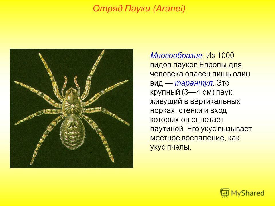 Отряд Пауки (Aranei) Многообразие. Из 1000 видов пауков Европы для человека опасен лишь один вид тарантул. Это крупный (34 см) паук, живущий в вертикальных норках, стенки и вход которых он оплетает паутиной. Его укус вызывает местное воспаление, как