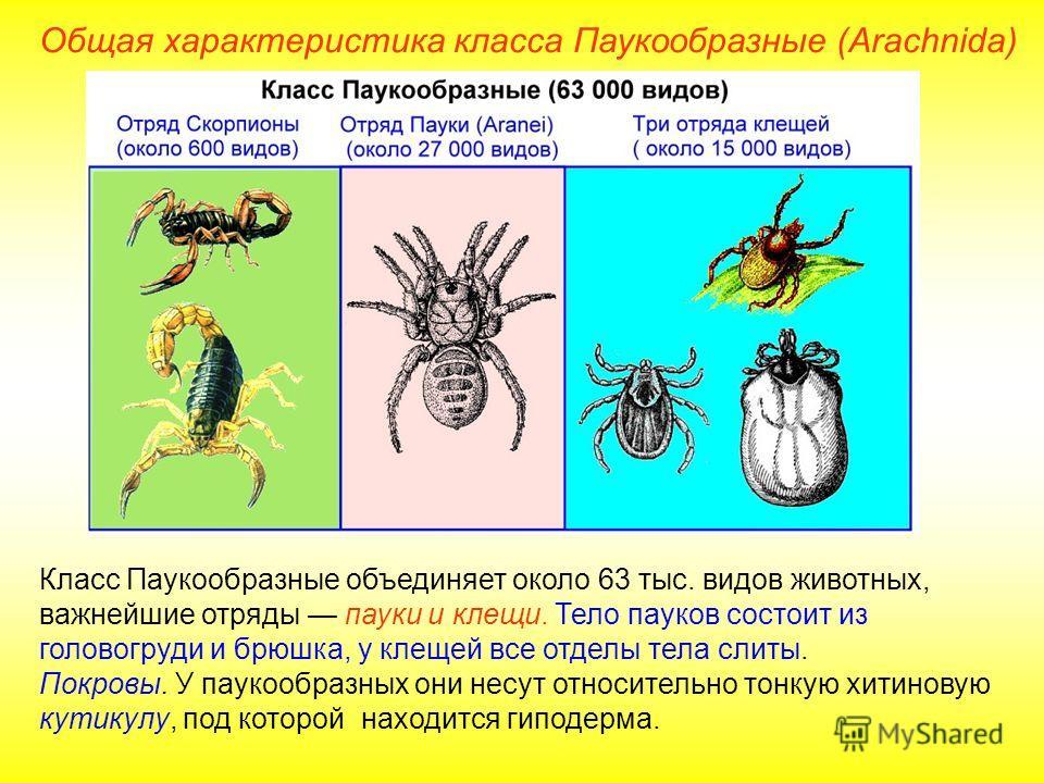 Общая характеристика класса Паукообразные (Arachnida) Класс Паукообразные объединяет около 63 тыс. видов животных, важнейшие отряды пауки и клещи. Тело пауков состоит из головогруди и брюшка, у клещей все отделы тела слиты. Покровы. У паукообразных о
