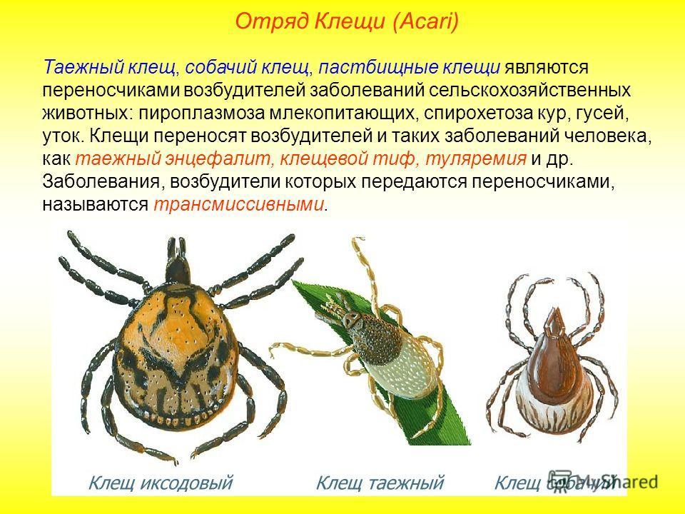 Отряд Клещи (Acari) Таежный клещ, собачий клещ, пастбищные клещи являются переносчиками возбудителей заболеваний сельскохозяйственных животных: пироплазмоза млекопитающих, спирохетоза кур, гусей, уток. Клещи переносят возбудителей и таких заболеваний