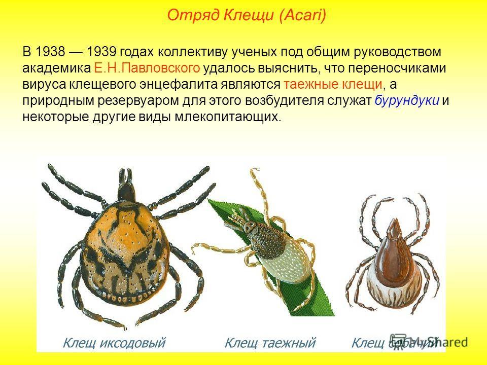 Отряд Клещи (Acari) В 1938 1939 годах коллективу ученых под общим руководством академика Е.Н.Павловского удалось выяснить, что переносчиками вируса клещевого энцефалита являются таежные клещи, а природным резервуаром для этого возбудителя служат буру