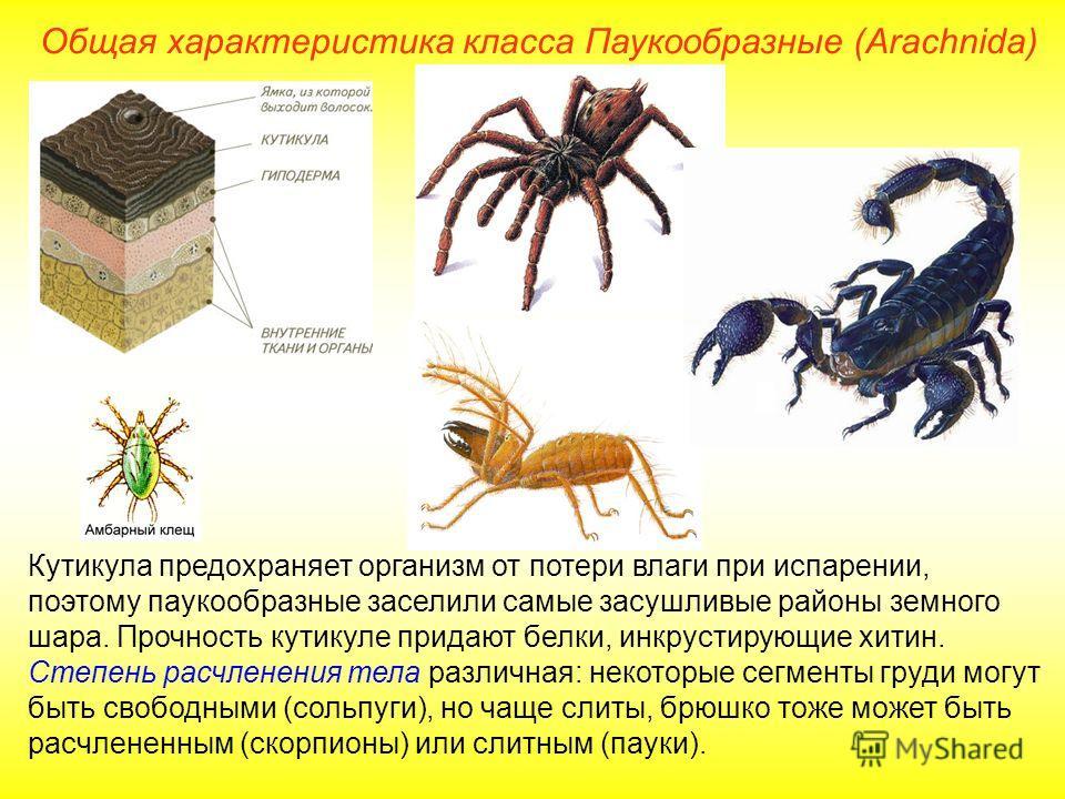 Общая характеристика класса Паукообразные (Arachnida) Кутикула предохраняет организм от потери влаги при испарении, поэтому паукообразные заселили самые засушливые районы земного шара. Прочность кутикуле придают белки, инкрустирующие хитин. Степень р