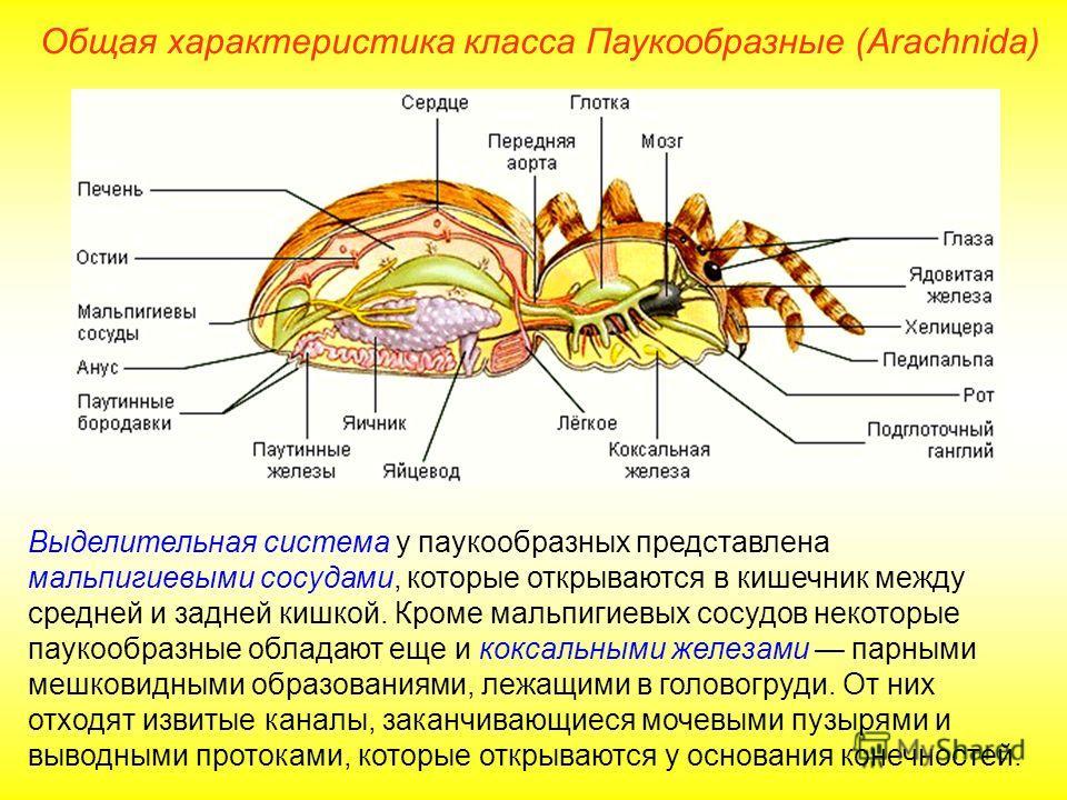 Общая характеристика класса Паукообразные (Arachnida) Выделительная система у паукообразных представлена мальпигиевыми сосудами, которые открываются в кишечник между средней и задней кишкой. Кроме мальпигиевых сосудов некоторые паукообразные обладают