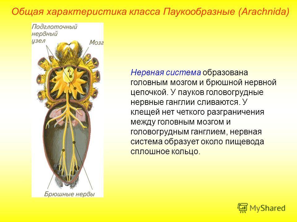 Общая характеристика класса Паукообразные (Arachnida) Нервная система образована головным мозгом и брюшной нервной цепочкой. У пауков головогрудные нервные ганглии сливаются. У клещей нет четкого разграничения между головным мозгом и головогрудным га