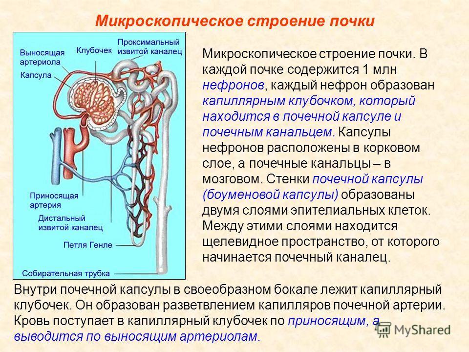 Микроскопическое строение почки Внутри почечной капсулы в своеобразном бокале лежит капиллярный клубочек. Он образован разветвлением капилляров почечной артерии. Кровь поступает в капиллярный клубочек по приносящим, а выводится по выносящим артериола