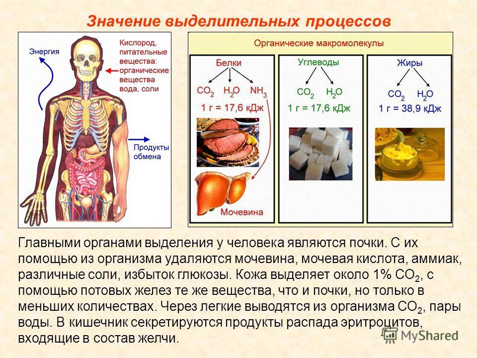 Значение выделительных процессов Главными органами выделения у человека являются почки. С их помощью из организма удаляются мочевина, мочевая кислота, аммиак, различные соли, избыток глюкозы. Кожа выделяет около 1% СО 2, с помощью потовых желез те же