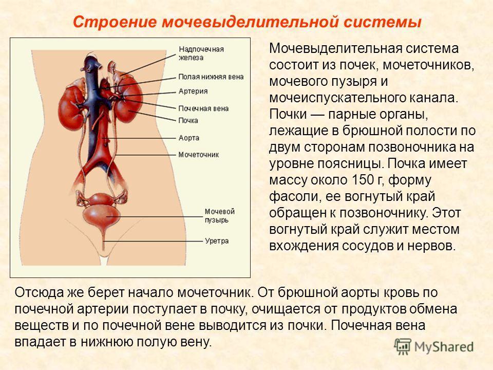 Строение мочевыделительной системы Мочевыделительная система состоит из почек, мочеточников, мочевого пузыря и мочеиспускательного канала. Почки парные органы, лежащие в брюшной полости по двум сторонам позвоночника на уровне поясницы. Почка имеет ма