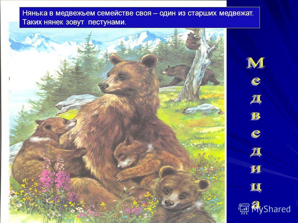 Бурый медведь - хищник. Бегает он очень быстро. Может стоять и ходить на задних ногах, а передними брать пищу. Ловко лазает по деревьям, обхватив их лапами. Медведь - всеядное животное. Ест сочные травы, овес, молодые ветви и листья, корни растений,