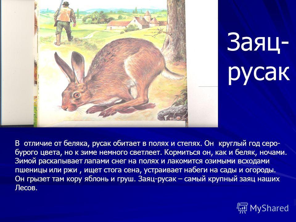 Заяц –беляк живет в горах. Но нам более известен тот что живет в лесах. Весь день беляк спит,а кормится ночами : гложет кору осин и берез. Он быстро бегает по глубокому снегу,словно на лыжах. Лапы у него к зиме обрастают шерстью,делаются широкими и п