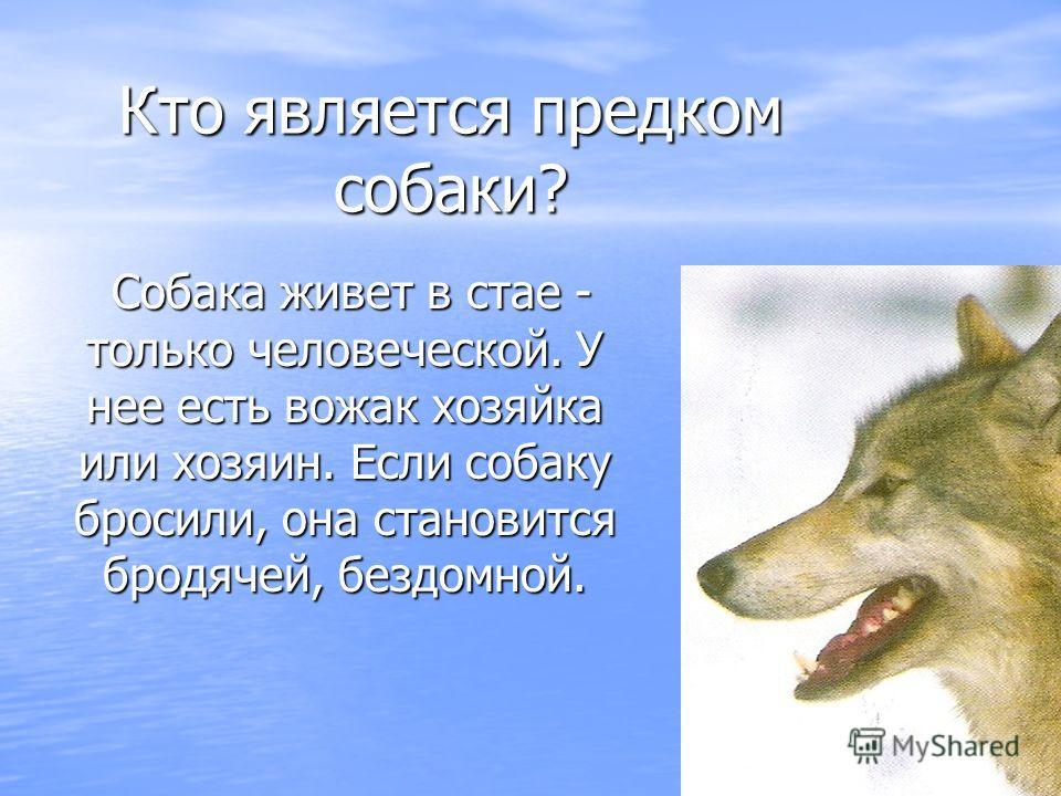 Кто является предком собаки? Собака живет в стае - только человеческой. У нее есть вожак хозяйка или хозяин. Если собаку бросили, она становится бродячей, бездомной. Собака живет в стае - только человеческой. У нее есть вожак хозяйка или хозяин. Если