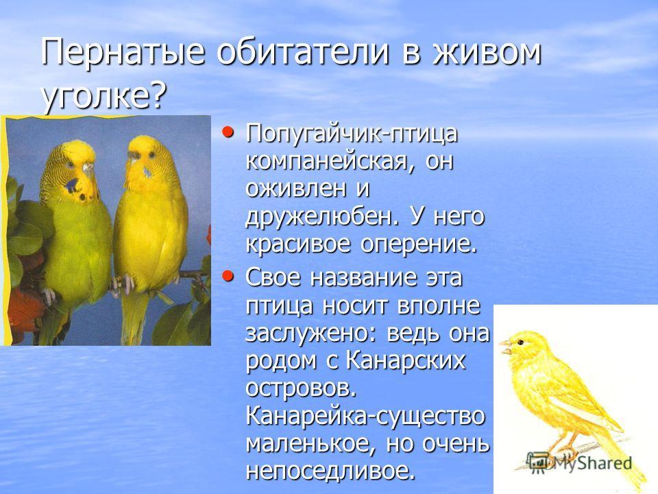 Пернатые обитатели в живом уголке? Попугайчик-птица компанейская, он оживлен и дружелюбен. У него красивое оперение. Свое название эта птица носит вполне заслужено: ведь она родом с Канарских островов. Канарейка-существо маленькое, но очень непоседли