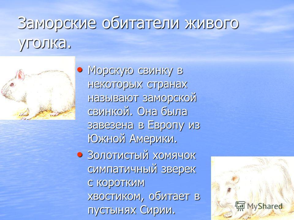 Заморские обитатели живого уголка. Морскую свинку в некоторых странах называют заморской свинкой. Она была завезена в Европу из Южной Америки. Морскую свинку в некоторых странах называют заморской свинкой. Она была завезена в Европу из Южной Америки.