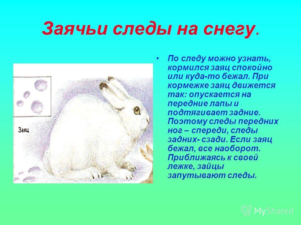 Заячьи следы на снегу. По следу можно узнать, кормился заяц спокойно или куда-то бежал. При кормежке заяц движется так: опускается на передние лапы и подтягивает задние. Поэтому следы передних ног – спереди, следы задних- сзади. Если заяц бежал, все