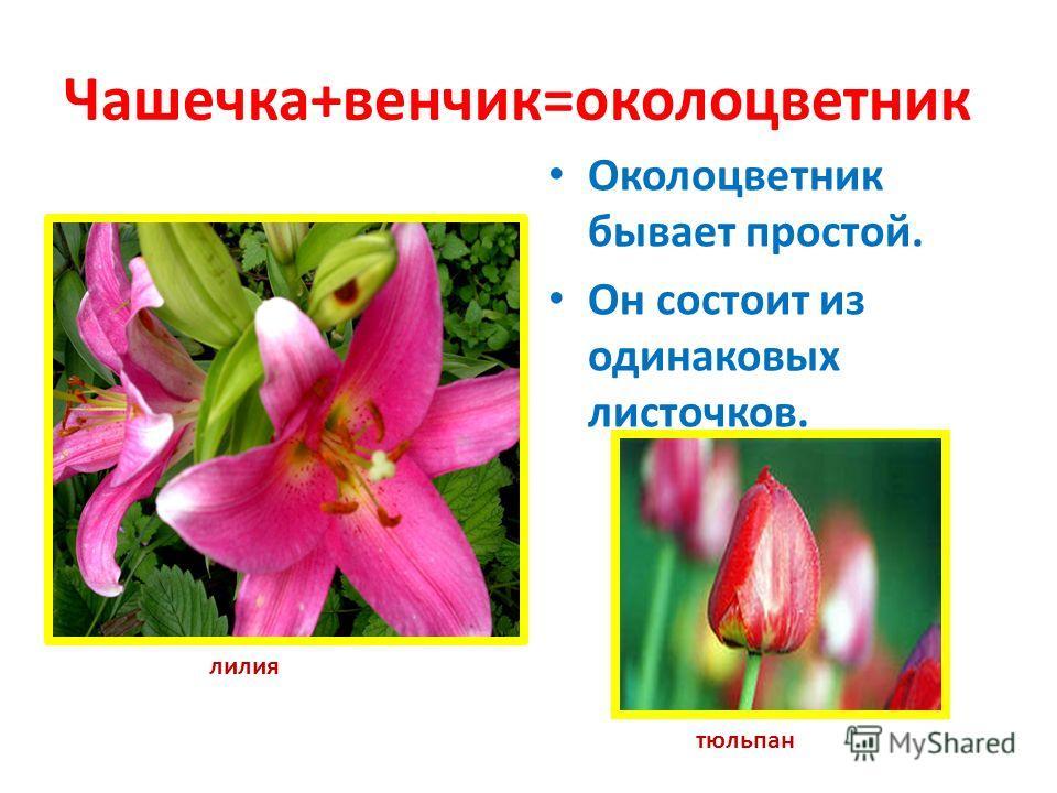 Венчик раздельнолепестной Лепестки не срастаются. Венчик состоит из отдельных лепестков (роза, яблоня, вишня) роза