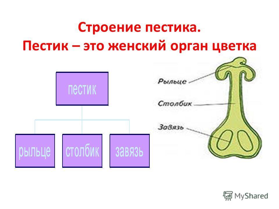 Главные части цветка- это пестик и тычинки