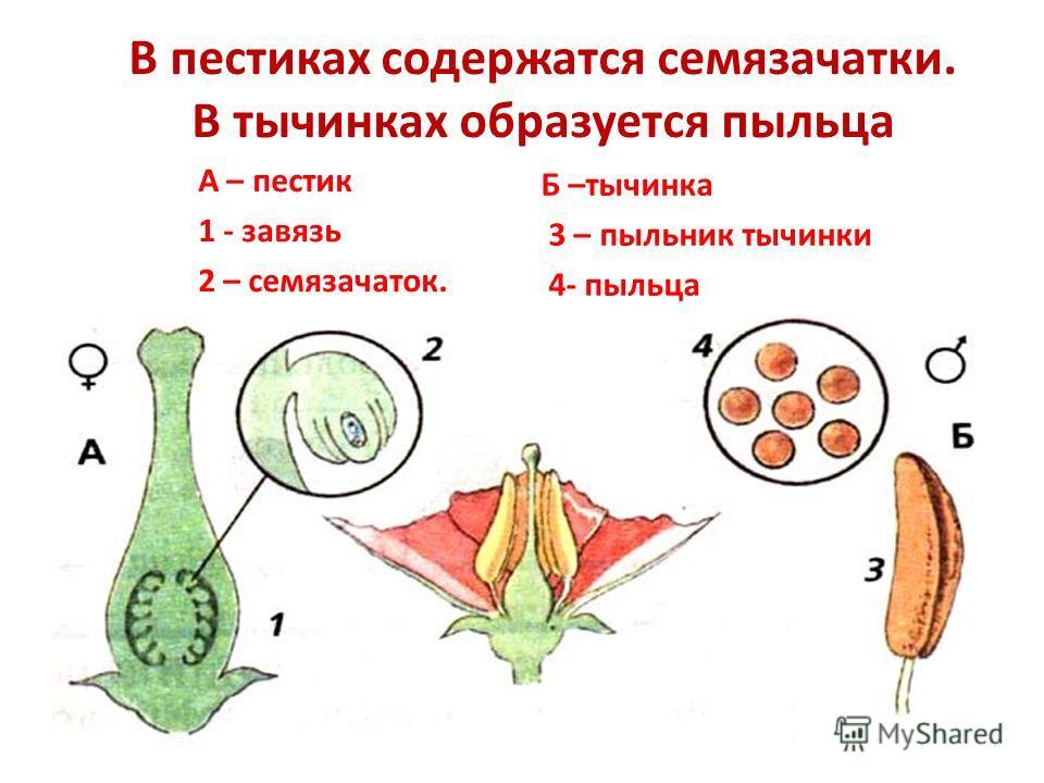 Строение тычинки. Тычинки – это мужские органы цветка