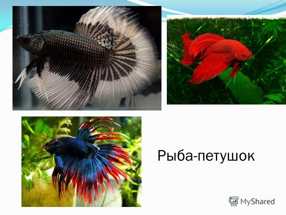 Рыба-петушок