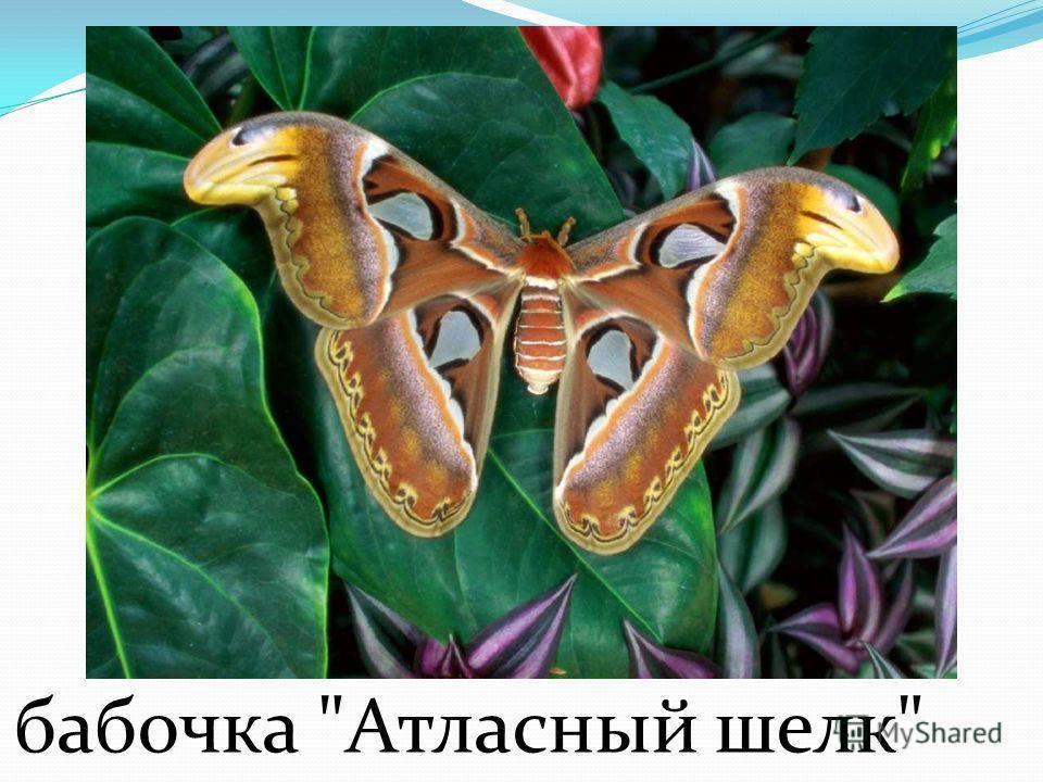 королевская бабочка Королевская бабочка