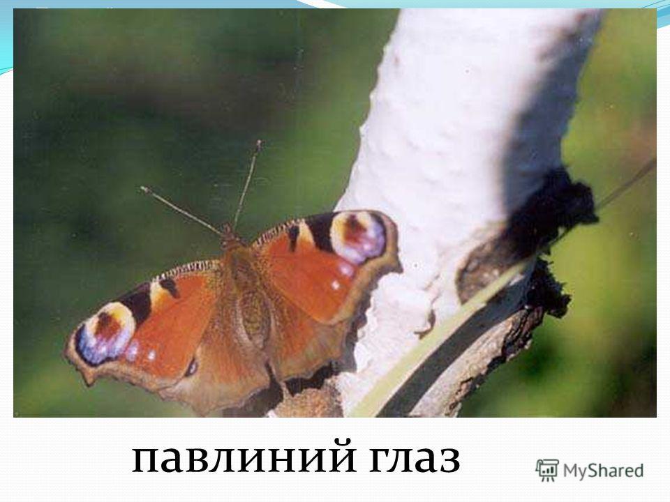 бабочка Атласный шелк Бабочка атласный шелк