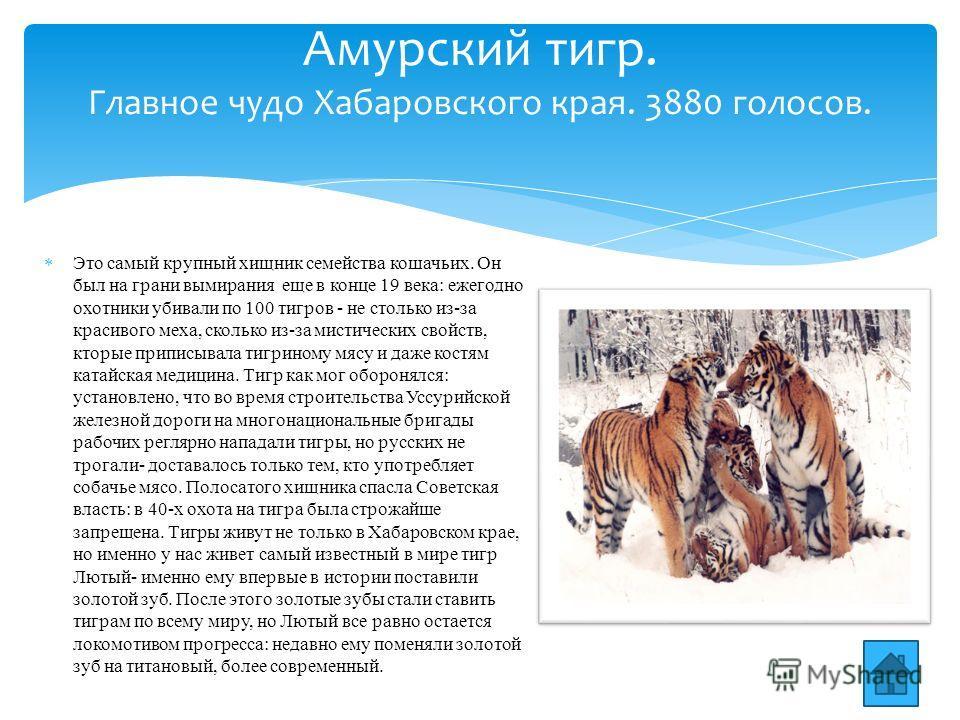 Это самый крупный хищник семейства кошачьих. Он был на грани вымирания еще в конце 19 века: ежегодно охотники убивали по 100 тигров - не столько из-за красивого меха, сколько из-за мистических свойств, кторые приписывала тигриному мясу и даже костям
