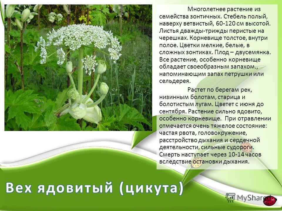 Многолетнее растение из семейства зонтичных. Стебель полый, наверху ветвистый, 60-120 см высотой. Листья дважды-трижды перистые на черешках. Корневище толстое, внутри полое. Цветки мелкие, белые, в сложных зонтиках. Плод – двусемянка. Все растение, о