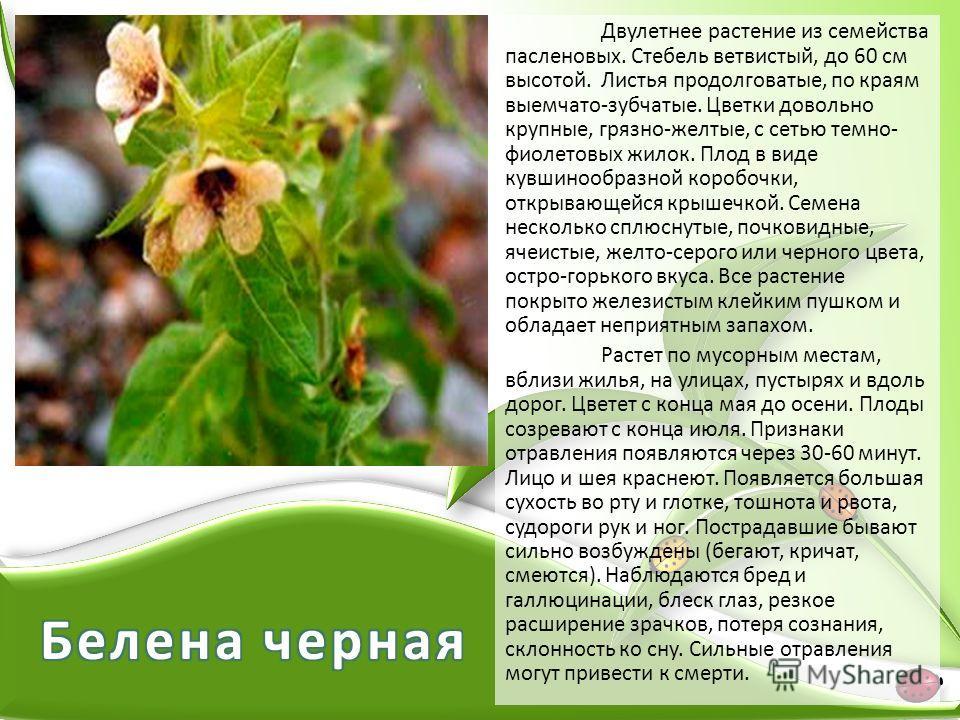 Двулетнее растение из семейства пасленовых. Стебель ветвистый, до 60 см высотой. Листья продолговатые, по краям выемчато-зубчатые. Цветки довольно крупные, грязно-желтые, с сетью темно- фиолетовых жилок. Плод в виде кувшинообразной коробочки, открыва