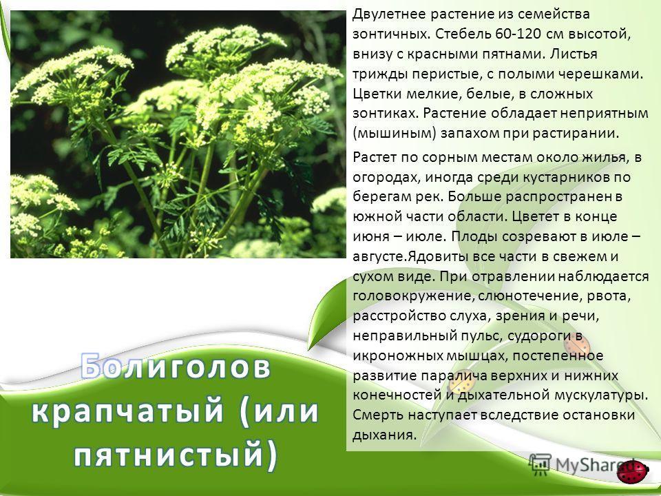 Двулетнее растение из семейства зонтичных. Стебель 60-120 см высотой, внизу с красными пятнами. Листья трижды перистые, с полыми черешками. Цветки мелкие, белые, в сложных зонтиках. Растение обладает неприятным (мышиным) запахом при растирании. Расте