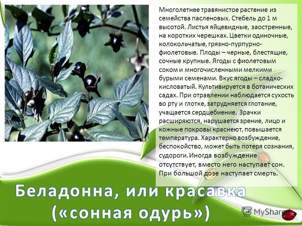 Многолетнее травянистое растение из семейства пасленовых. Стебель до 1 м высотой. Листья яйцевидные, заостренные, на коротких черешках. Цветки одиночные, колокольчатые, грязно-пурпурно- фиолетовые. Плоды – черные, блестящие, сочные крупные. Ягоды с ф