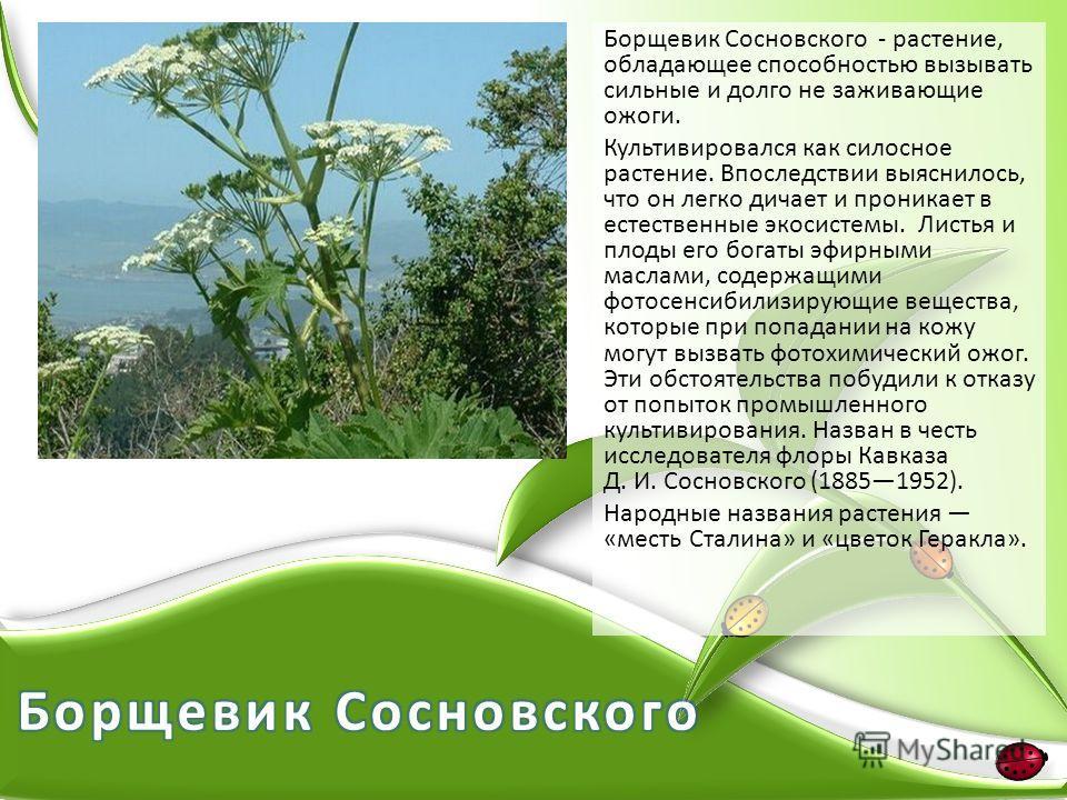 Борщевик Сосновского - растение, обладающее способностью вызывать сильные и долго не заживающие ожоги. Культивировался как силосное растение. Впоследствии выяснилось, что он легко дичает и проникает в естественные экосистемы. Листья и плоды его богат