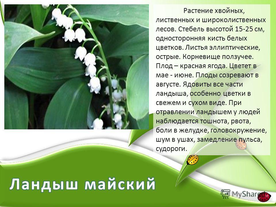 Растение хвойных, лиственных и широколиственных лесов. Стебель высотой 15-25 см, односторонняя кисть белых цветков. Листья эллиптические, острые. Корневище ползучее. Плод – красная ягода. Цветет в мае - июне. Плоды созревают в августе. Ядовиты все ча
