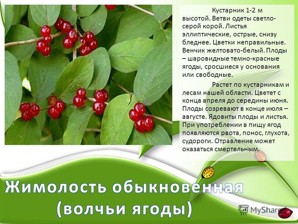 Кустарник 1-2 м высотой. Ветви одеты светло- серой корой. Листья эллиптические, острые, снизу бледнее. Цветки неправильные. Венчик желтовато-белый. Плоды – шаровидные темно-красные ягоды, сросшиеся у основания или свободные. Растет по кустарникам и л